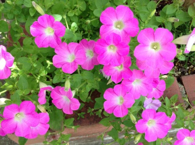 ガーデニングで人気の花ペチュニア