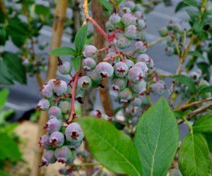 果物の木 ブルーベリー