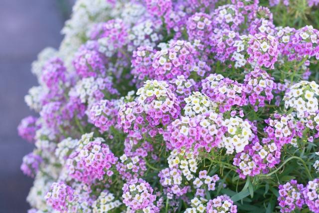 ガーデニングで人気の花アリッサム