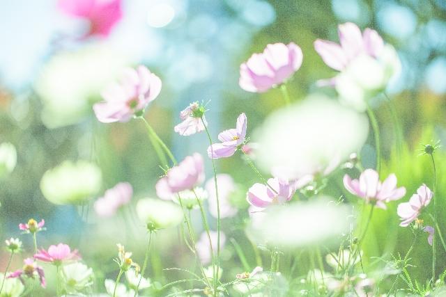 ガーデニングで人気の花コスモス
