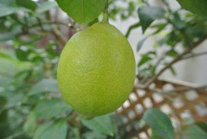 果物の木 レモン